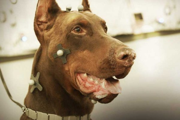 large dog outfitted in motion capture dots